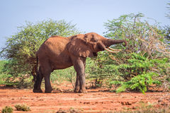 Elephant among acacia tress , Kenya Royalty Free Stock Photography