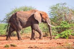 Elephant among acacia tress , Kenya Stock Photo