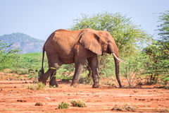 Elephant among acacia tress , Kenya Stock Photos