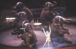 Elephant Act, Ringling Brothers & Barnum & Bailey Circus royalty free stock photography