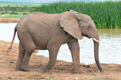 Elephant, Addo Elephant National park, South Africa Royalty Free Stock Photography