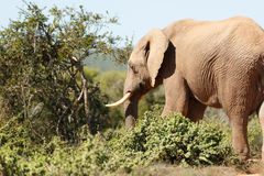 Elephant. Addo Elephant National Park is a diverse wildlife conservation park situated close to Port Elizabeth in South Africa stock image