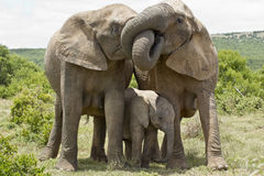 Elephant affection. Two female elephants standing and embrasing each other with their trunks stock photo