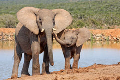 Elephant affection. Mother elephant showing her calf some affection stock photography