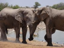 Elephant affection. 2 Elephants acknowledge each other as they arrive at the watering hole stock images