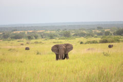 Elephant in africa. African Elephant bull with big ears, trunk and tusks grazing and walking in the bushland Royalty Free Stock Photo