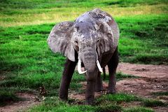 Elephant from Africa Royalty Free Stock Image