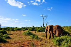 Elephant in Africa Stock Photo