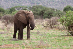 Elephant  in Africa Royalty Free Stock Image