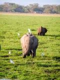 Elephant. In Africa Nationalpark Masai Mara Stock Photography