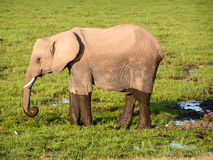 Elephant. In Africa Nationalpark Masai Mara Royalty Free Stock Photos