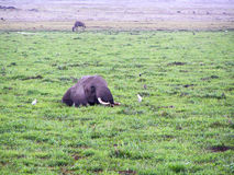 Elephant. In Africa Nationalpark Masai Mara Stock Images