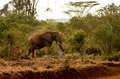 Elephant in Africa wild nature life stock photo
