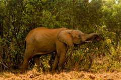 Elephant in Africa wild nature life. Of savana on dry grass at safari game wild nature national parks of Kenya and Tanzania stock image