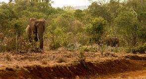 Elephant in Africa wild nature life stock photography