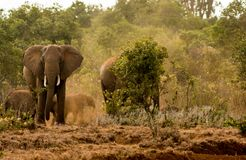 Elephant in Africa wild nature life. Of savana on dry grass at safari game wild nature national parks of Kenya and Tanzania stock photo