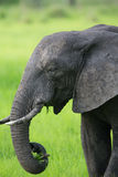 Elephant in Africa, Zambia Stock Image