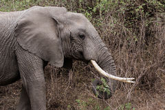 Elephant. African elephant  with big tusks Royalty Free Stock Photography