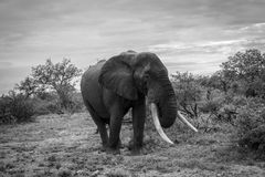 Elephant in the African bush. With big tusks royalty free stock photos