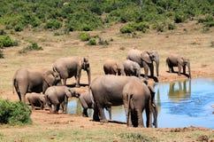 Elephant, African Bush Elephant Royalty Free Stock Photo