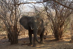 Elephant in the African bush. Elephant about to defy us in the bush Stock Images