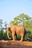 Elephant. African elephants in guangzhou zoo Royalty Free Stock Photography