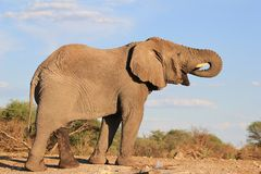 Elephant, African - The great Thirst 4. A young adult bull Elephant drinking water on a game ranch in Namibia, Africa. Wild elephant stock photography