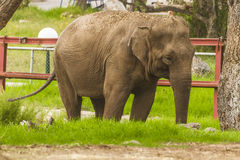 Elephant. African elephant in Jijel zoo, Algeria Royalty Free Stock Photo