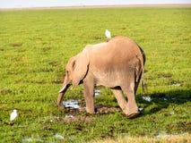 Elephant. In African Nationalpark Masai Mara Royalty Free Stock Image