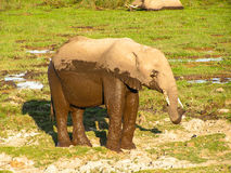 Elephant. In african Nationalpark Masai Mara Royalty Free Stock Photos