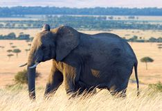 Elephant in the African Plains. Elephant in Maasai Mara, kenya Royalty Free Stock Photography