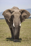 Elephant. African Elephant on the plains in the Maasai Mara National Reserve, Kenya, East Africa stock photo