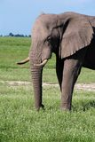 Elephant in african savannah Stock Photos