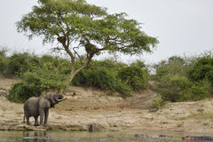 Elephant in the african savannah Stock Images