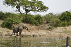 Elephant in the african savannah Stock Photos