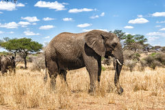 Elephant. African Elephant at Serengeti National Park, Tanzania Stock Photo