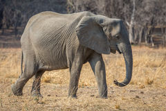 Eine fliege. African elephant in the southern luangwa national park in zambia Stock Photos