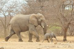 Elephant, African - Wildlife Background from Africa - Baby Animals Stock Photography