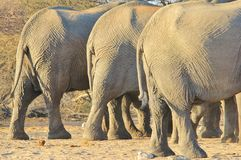 Elephant, African - Wildlife Background from Africa - Big Bottoms in Nature's Health and Diet Clinic Stock Photo