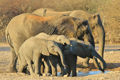 Elephant, African - Wildlife Background from Africa - Family of Format Stock Image