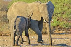 Elephant, African - Wildlife Background from Africa Stock Images