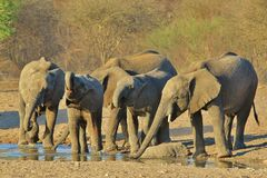 Elephant, African - Wildlife Background from Africa - School  of Teenagers Royalty Free Stock Photography