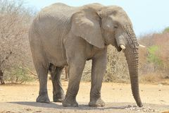 Elephant, African - Wildlife Background from Africa - Trunk, super tool. An adult African Elephant bull smells at camel thorn tree pods on the ground, searching stock photos