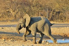 Elephant, African - Wildlife Background from Africa - A youngster in full focus Stock Photos