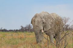 Elephant, African - Wildlife Background - Bull of Age Royalty Free Stock Photo