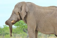 Elephant, African - Wildlife Background - Trunk Resting Royalty Free Stock Photo