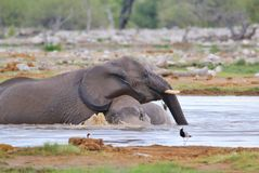 Elephant, African - Wildlife Background - Water Play Royalty Free Stock Photo