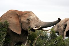 Elephant Aggression. Two African Elephants play fighting in the Addo bush Stock Images