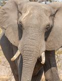 Elephant in alert Royalty Free Stock Photos