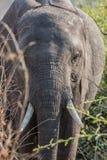 Elephant in alert Stock Photos